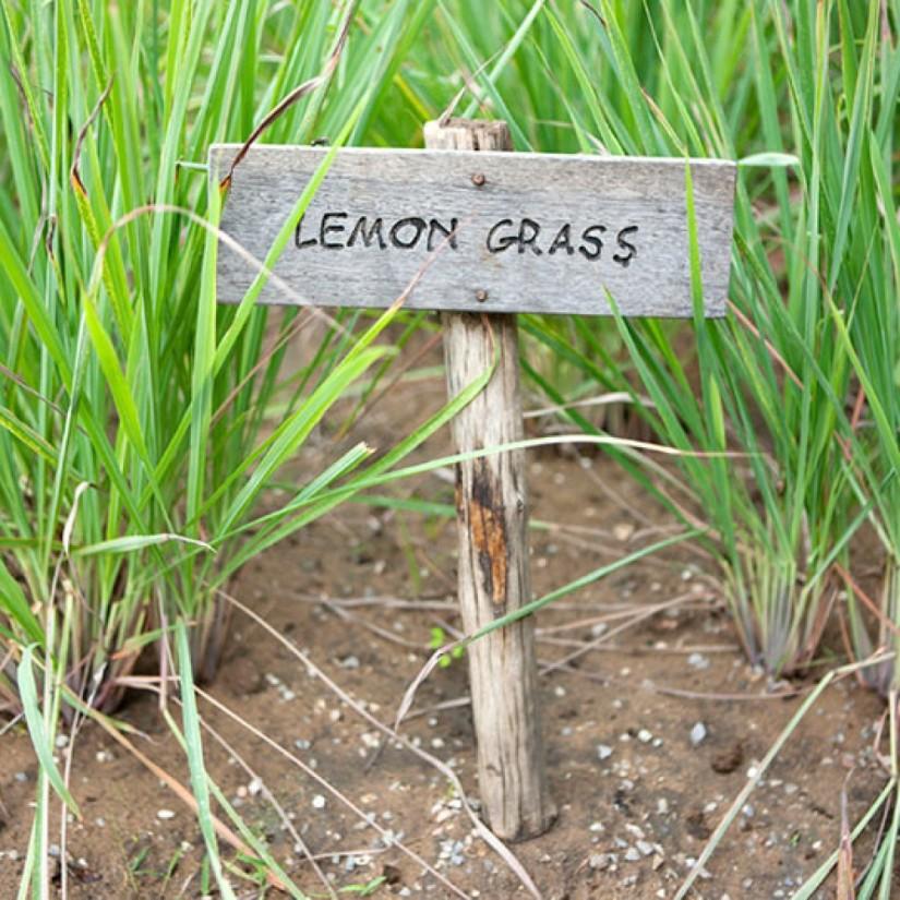 lemongrass-in-garden_istock-1000x1000 (1)